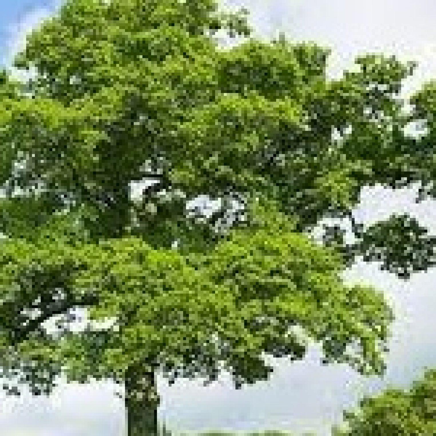 oak tree 3a